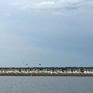 Pelican party! #pelicans #emiquon