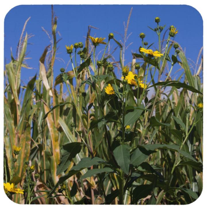 Cornfield with Sunflowers