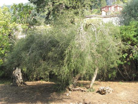 Arbre à thé (Tea Tree)