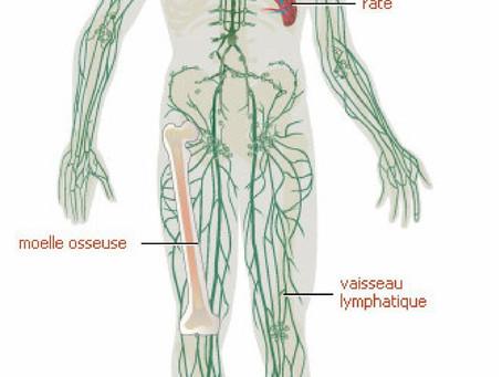 Système immunitaire : ces organes