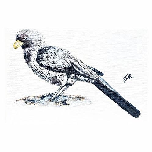 Western Grey Plantain - Eater