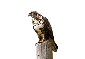 Falcon.png