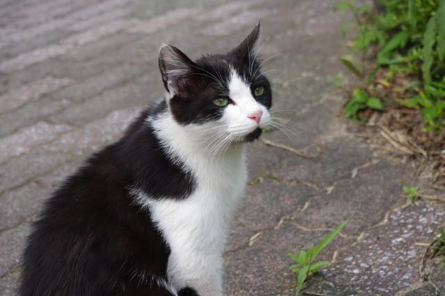 tuxedo kitty sitting outside