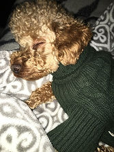 little dog with the sweater sleeping