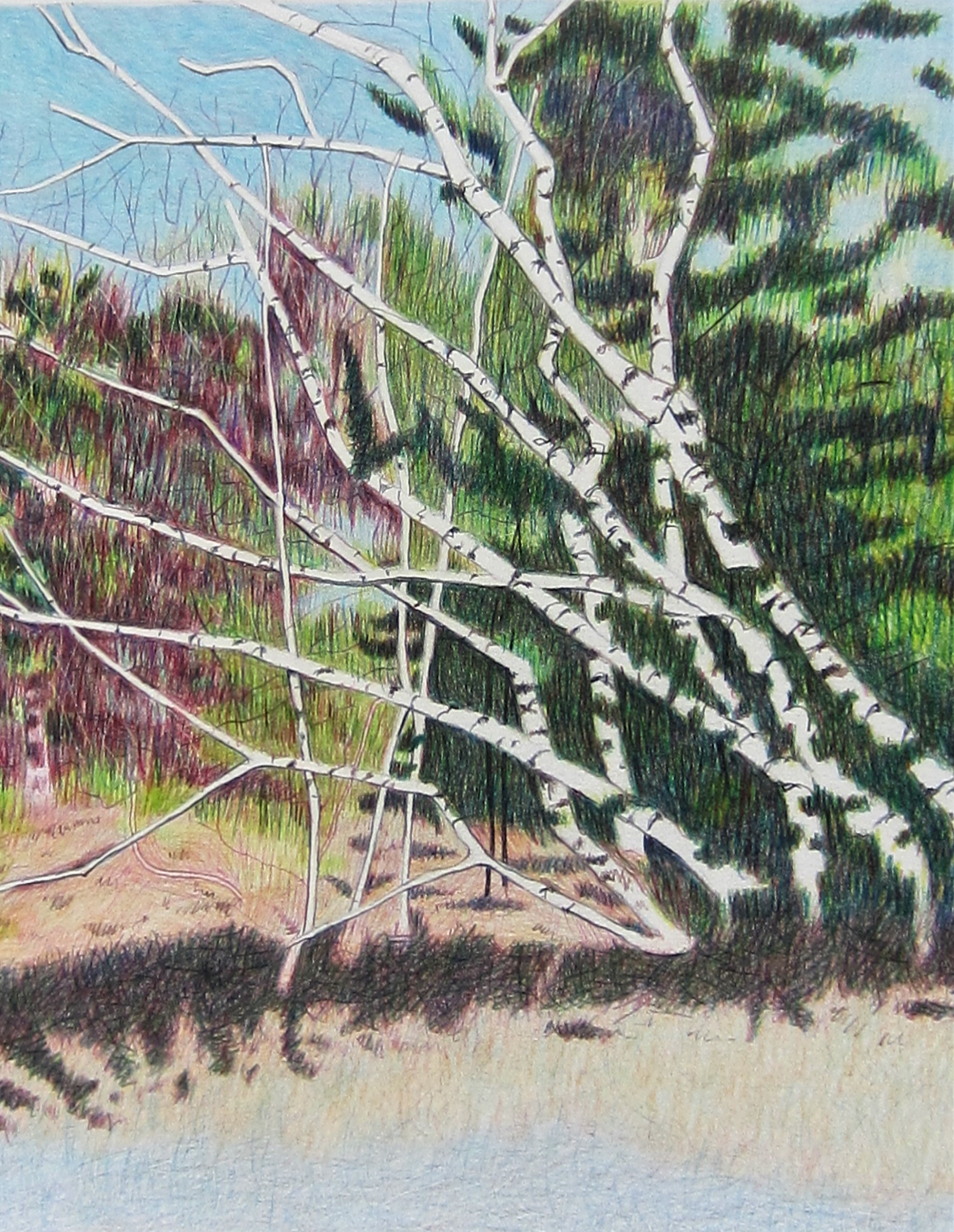 NORTH CAROLINA BIRCH TREES