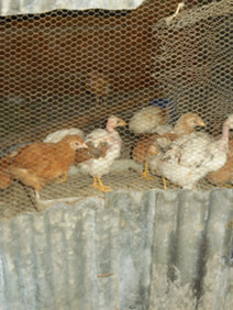 Chicken project