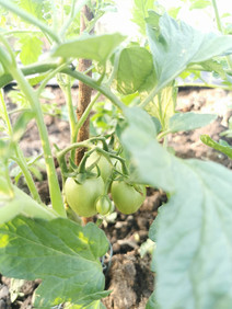 The new tomatoes are growing