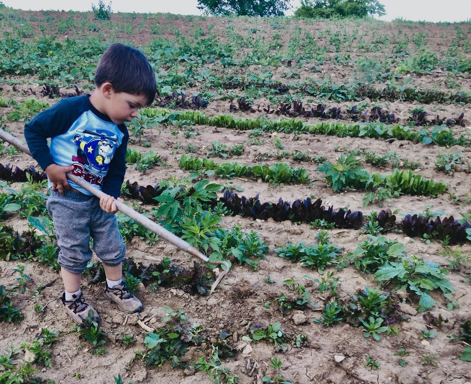 Albi weeding lettuce when he was 2 years old.