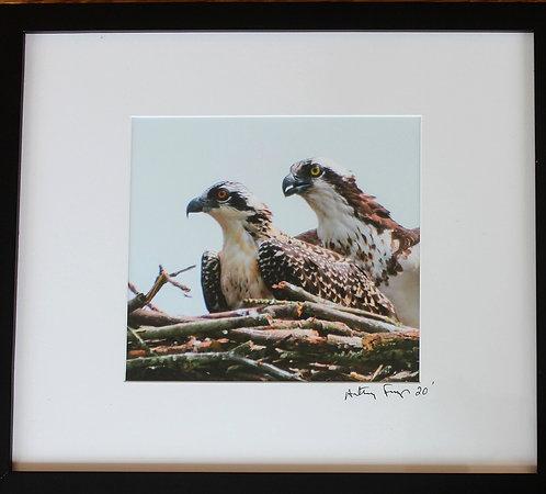 The 2 Ospreys