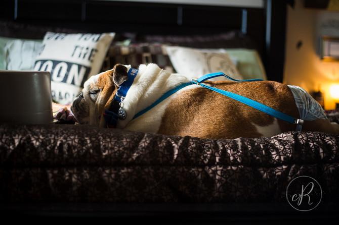 Munster: Mr Fancy Pants, Modern Dog Magazine's Star Dog Winner!