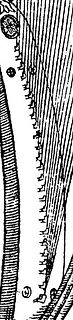 harpions braypins Praetorius