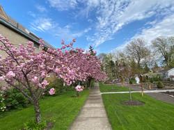 Cherry trees in bloom.jpg