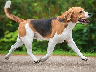 Beagle dog running trot_edited.jpg