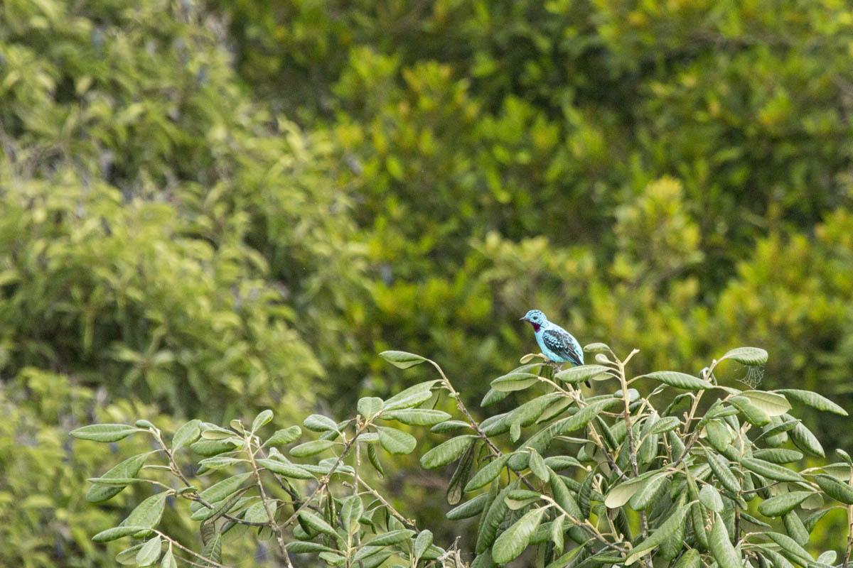 Pássaros da Amazonia