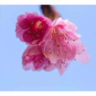 Sakura Matsuri Abrindo-se para o mundo
