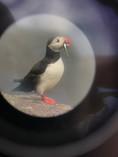 Puffin fotografado com um binóculo