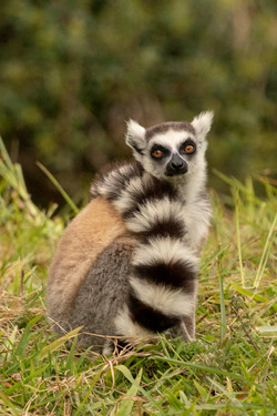 Ring-Tailed Lemur - Madagascar