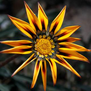 Flor Amarela Peru