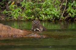Lontra comendo um cascudo