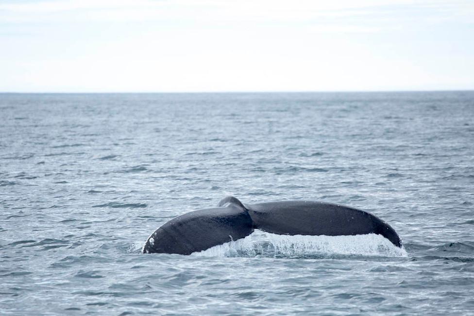 Whale Watching in Húsavik