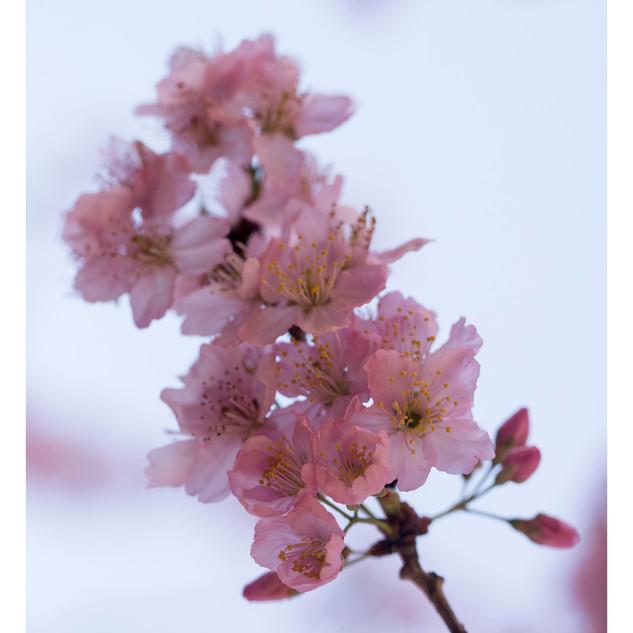 Sakura Matsuri Galho de Cerejeira