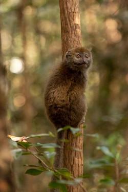 Golden Bamboo Lemur - Madagascar