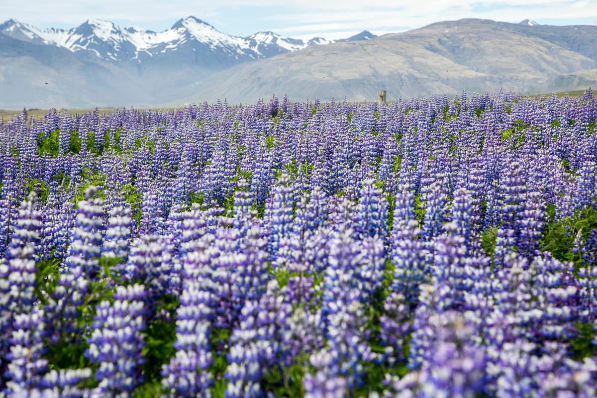 Iceland Nootka Lupin Flower Fields