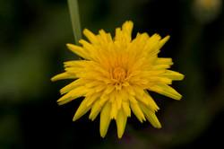 Mini flores das florestas do Oregon