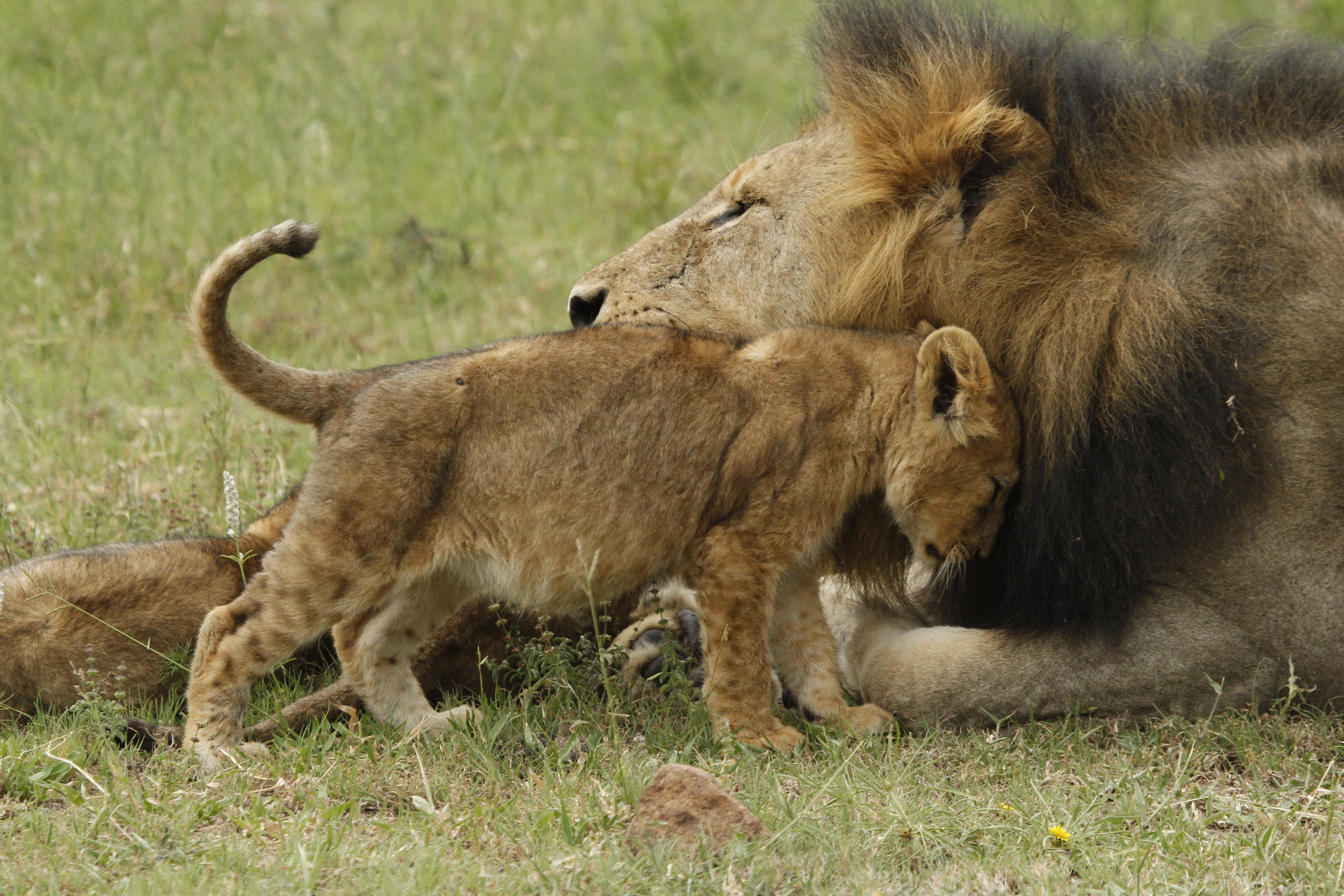 Leões e filhotes (cubs)