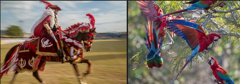 Imagem do Projeto Natureza em Festa: à esquerda cavaleiro mouro das Cavalhadas de Pirenópolis e à direita, araras do Cerrado brasileiro
