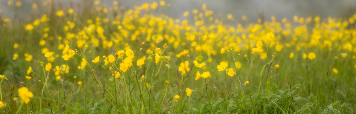 Campos de flores Geysir