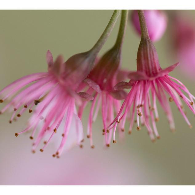 Sakura Matsuri delicadeza