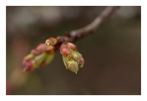 Botões de cerejeira