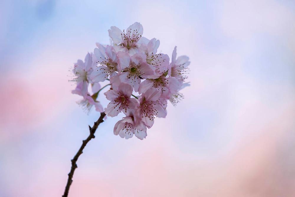 Flor de Cerejeira durante o Sakura Matsuri