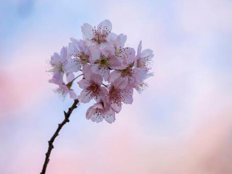Sakura Matsuri - o Festival japonês que celebra a florada das cerejeiras