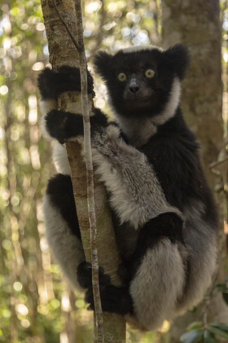 Indri Indri Lemur - Madagascar