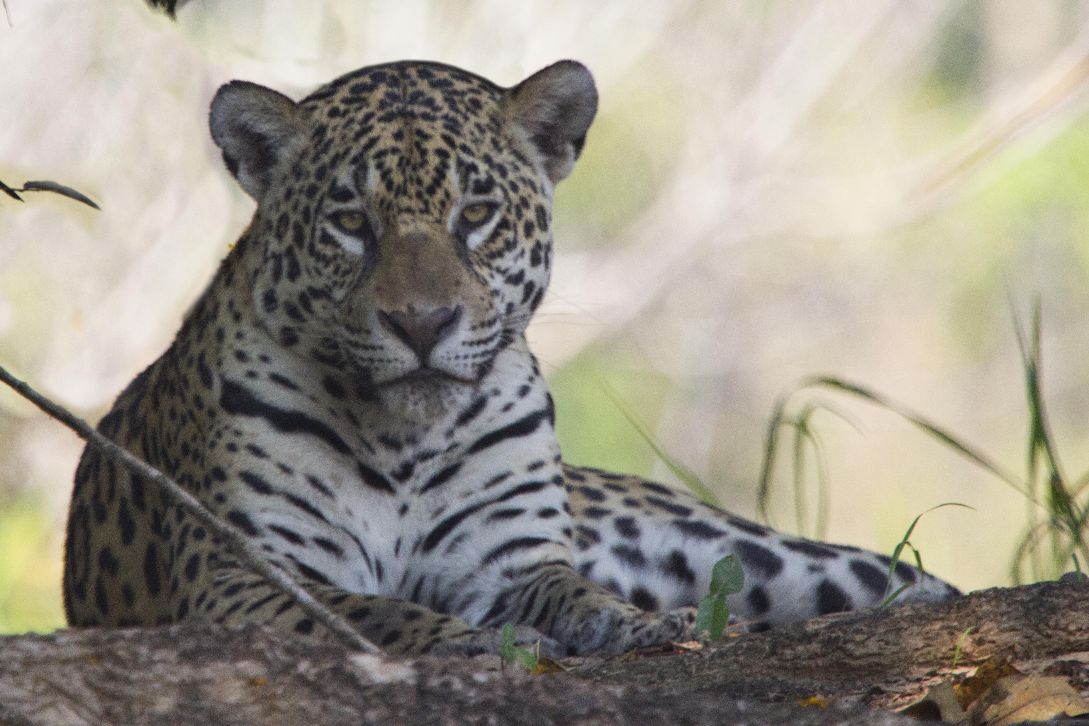 Onça Pantanal