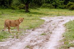 Leoa buscando caça