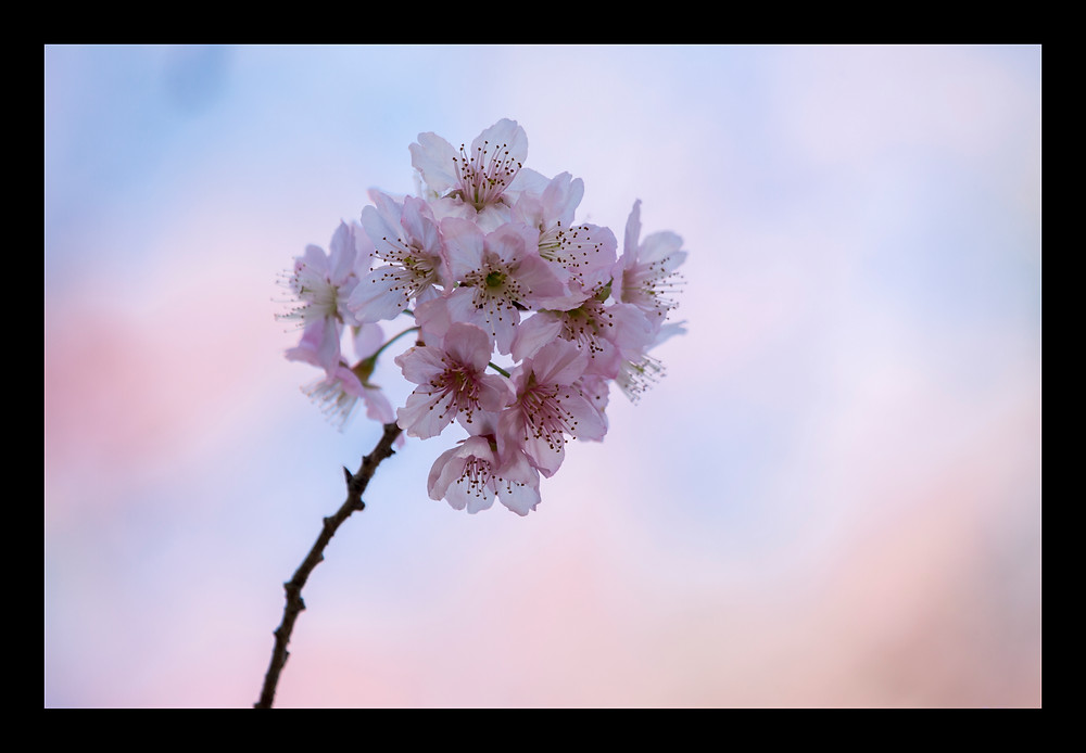 Florada das cerejeiras (Sakura Matsuri)