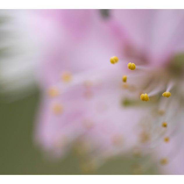 Sakura Matsuri pistilos