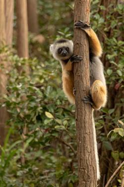 Diademed Sifaka - Madagascar