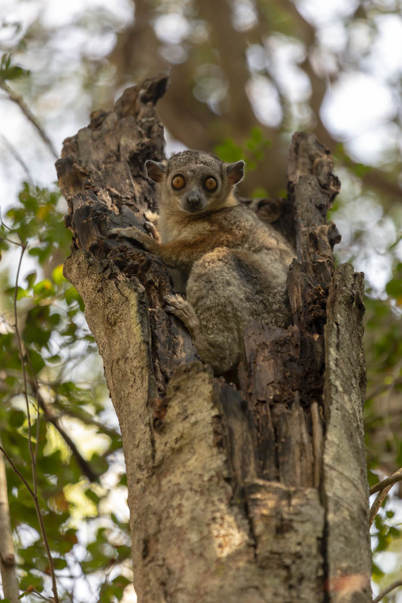 Lepilemur - Madagascar