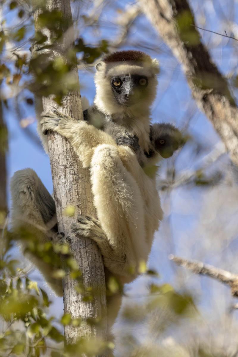 Sifaka Lemur - Madagascar