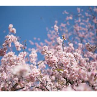Sakura Matsuri Blossom