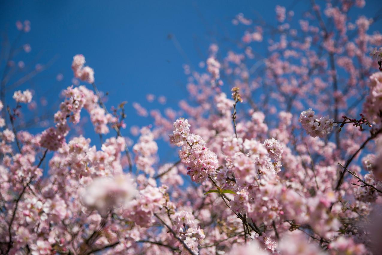 Sakura Matsuri - cerejeiras em flor