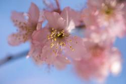 Sakura Matsuri- Festival cerejeiras