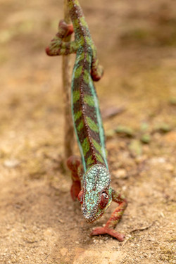 Camaleão - Madagascar