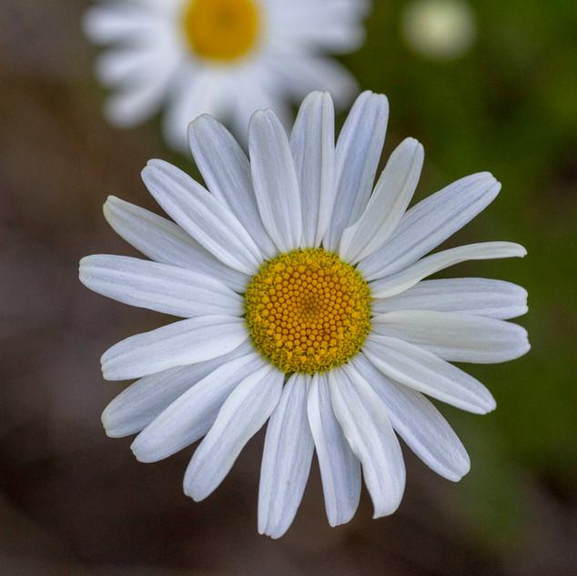 Flor branca margarida 30x30