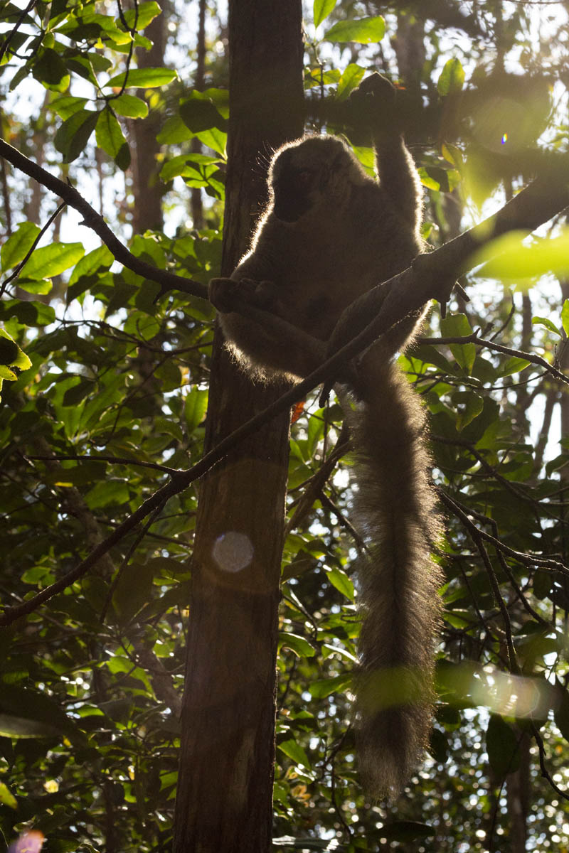 Common brown lemur - Madagascar