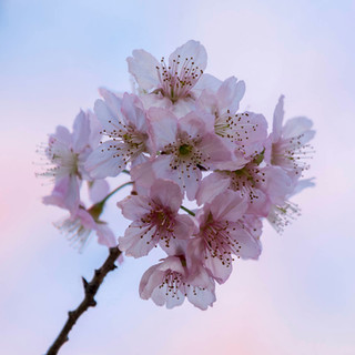 flor de cerejeira 30x30